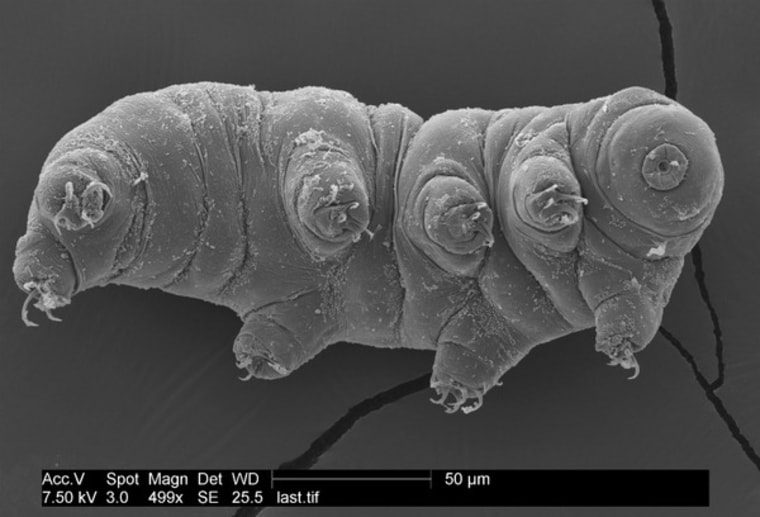 Tardigrades, sometimes called water bears, are incredibly tough. Here, one strikes a pose for the microscope.