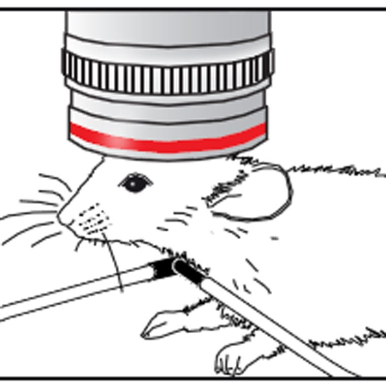 """An illustration of a """"window"""" built into a mouse's brain. The mouse survived the procedure."""