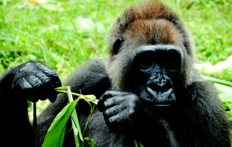 The Cross River gorilla, the most endangered great ape in Africa, is seen here in Cameroon's Limbe Wildlife Center. Images of wild Cross River gorillas are rare, due to the rugged terrain in which they exist and the great ape's elusive behavior.