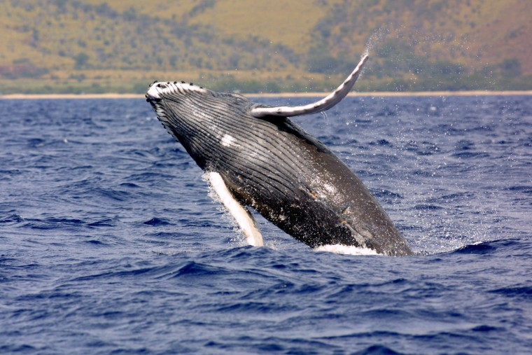 The two populations of humpback whales in the southern Indian Ocean have complex, and distinct, songs, sharing just one of the so-called song themes.