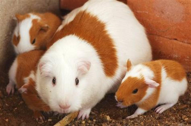 This guinea pig and her litter may have had a chance to lead a privileged life centuries ago.
