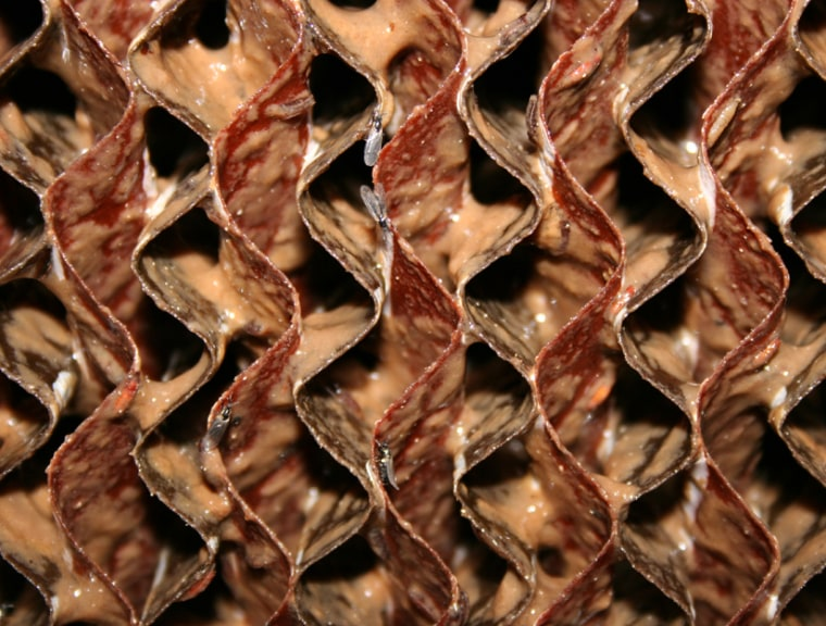 Bacteria cover corrugated cellulose pads on the inside of an odor biofilter used by pig farming operations in Denmark.
