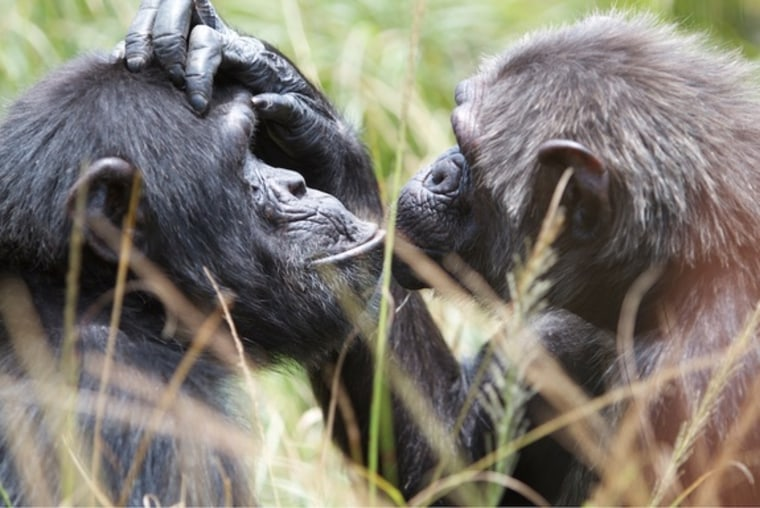 Chimpanzees seem to be able to get into another chimp's head and figure out what tool, for instance, they need to solve a problem.