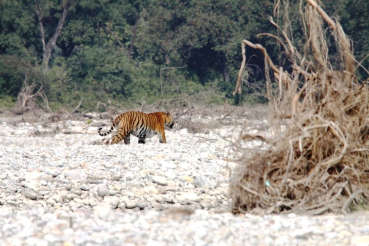 A WWF-India team spotted this male Bengal tiger crossing the Kosi River corridor in northern India. The team was surprised at their find but managed to snap a few pictures.