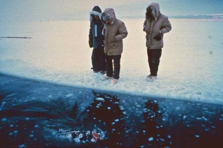 NOAA Fisheries Service marine mammal biologist Dave Withrow, center, checks on one of three gray whales trapped in sea ice outside of Barrow, Alaska.