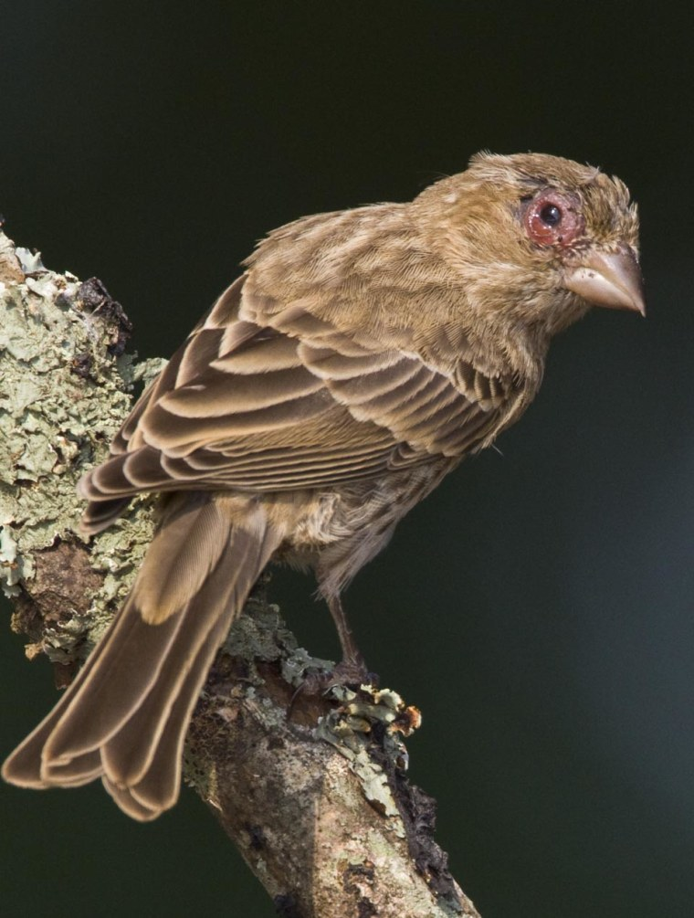 The red, swollen, crusty eyes in this house finch are the result of a highly contagious infection caused by the bacterium Mycoplasma gallisepticum.