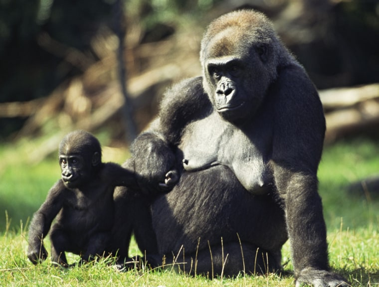 A lowland gorilla and her young. Disease is taking its toll on gorillas and other wild apes.
