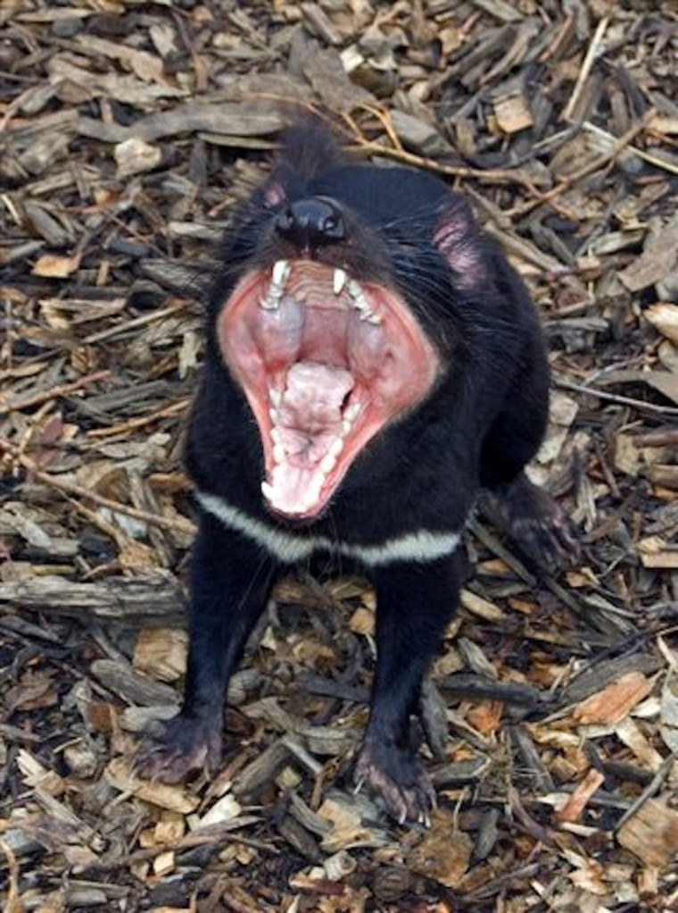 Tasmanian devils are in danger of dying off because of a deadly, transmissible cancer.