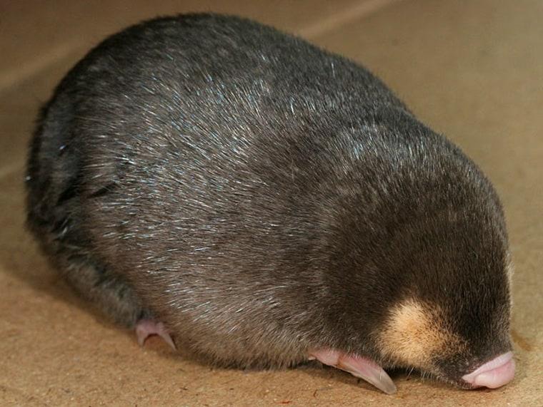 Image: Cape golden mole
