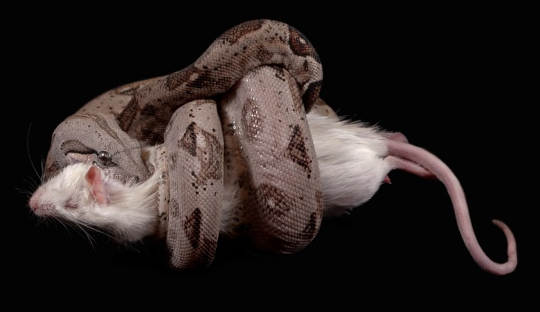 A boa from Crawl Cay Island constricts around a large rat.