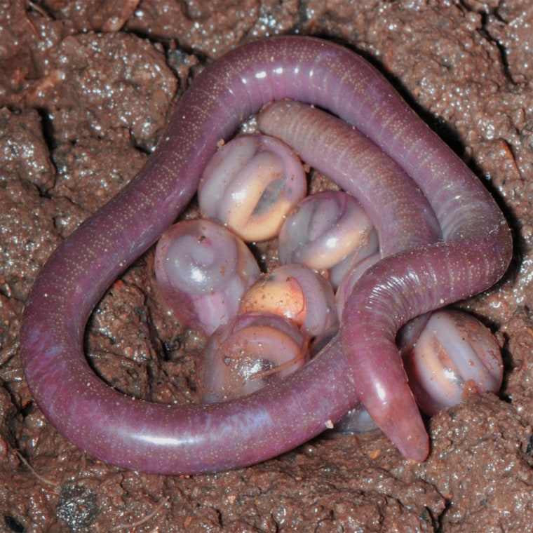 legless amphibians with young