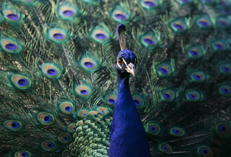Image: A peacock is seen during a warm spring day at Lazienki Park in Warsaw