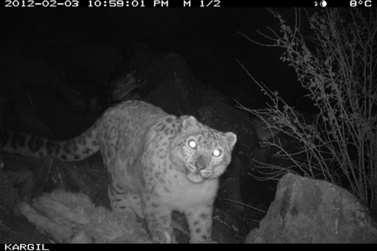An endangeredsnow leopard is snapped at night by an infrared camera in Kashmir.