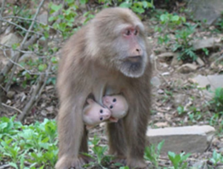 Successful parenting of twins among all non-human primates is rare, save for one family of South American monkeys, the Callitrichidae, which includes tamarins and marmosets.