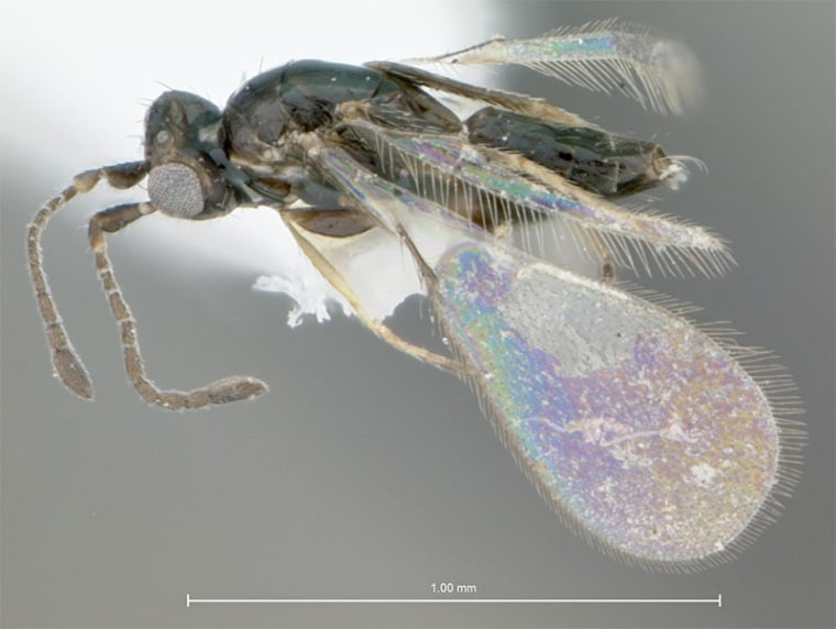 The fairyfly wasp, Gonatocerus ater, lays its eggs inside the eggs of leafhoppers; once hatched, the wasp larvae snack on the leafhopper eggs.