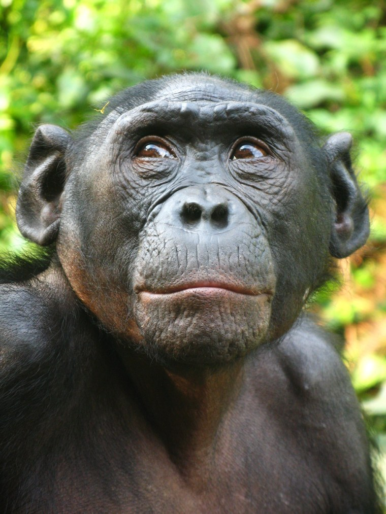 Photo of female bonobo named Isiro. During interactions with higher-ranked female partners, females produce copulation calls to advertise their socio-sexual interactions.