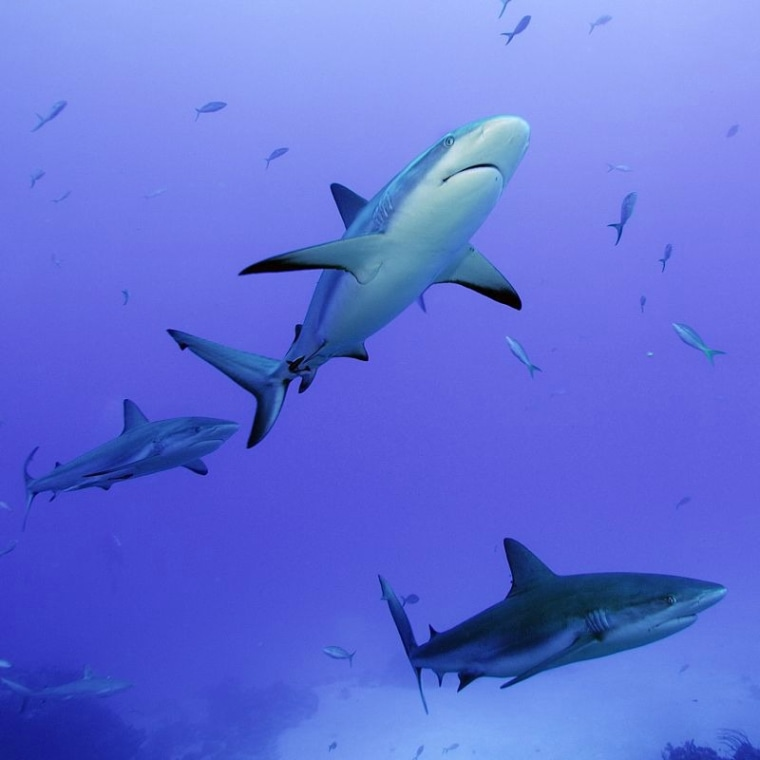 Reef sharks, most about 6.5 feet long, look surreal as they swim in the clear waters of the Bahamas.