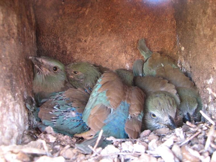 Eurasian roller nestlings in a breeding box.