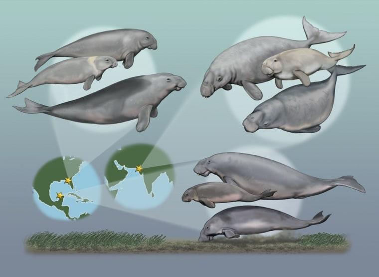 Image: Sea cows