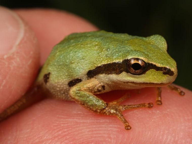 Image: Pacific chorus frog