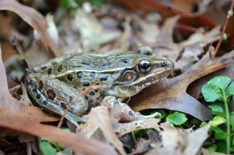 A new frog species has been discovered — right in the midst of New York City.