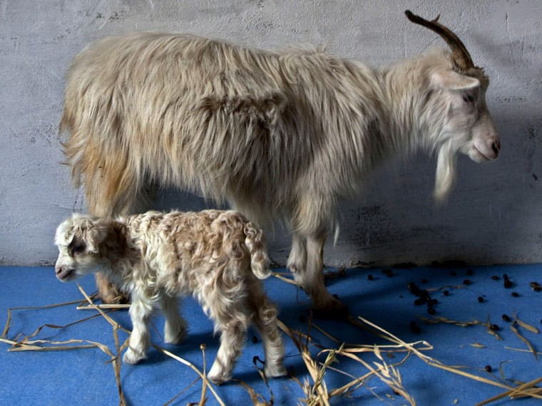 Image: Noori, a cloned pashmina goat, stands near her surrogate mother