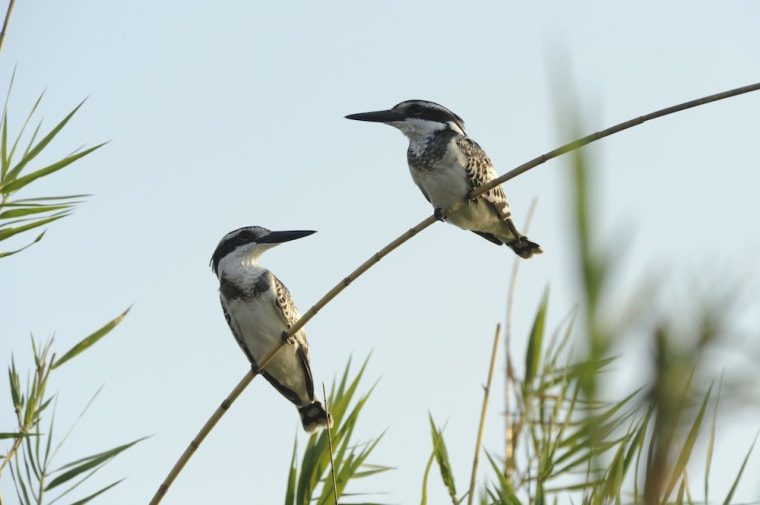 Two kingfishers perch on a branch. The KAZA area is home to 3,000 species of birds.