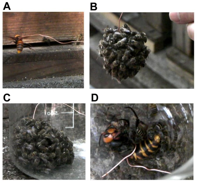 Worker bees forming a hot defensive bee ball. In this series of images: (A)A wire-hung hornet is presented to the beehive as a decoy. (B) Hundreds of workers form a hot defensive bee ball surrounding thegiant hornet. (C) The bee ball is recovered in a glass beaker. (D) The giant hornet is dead 60 minutes after the bee ball forms.