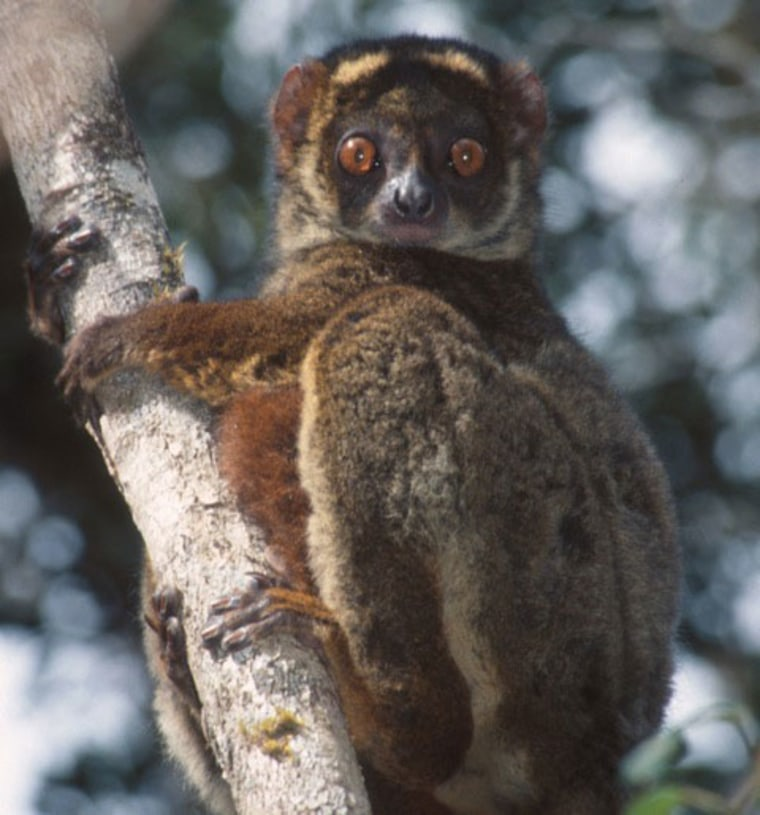 Woolly lemur (Avahi laniger), a primate species found on Madagascar.