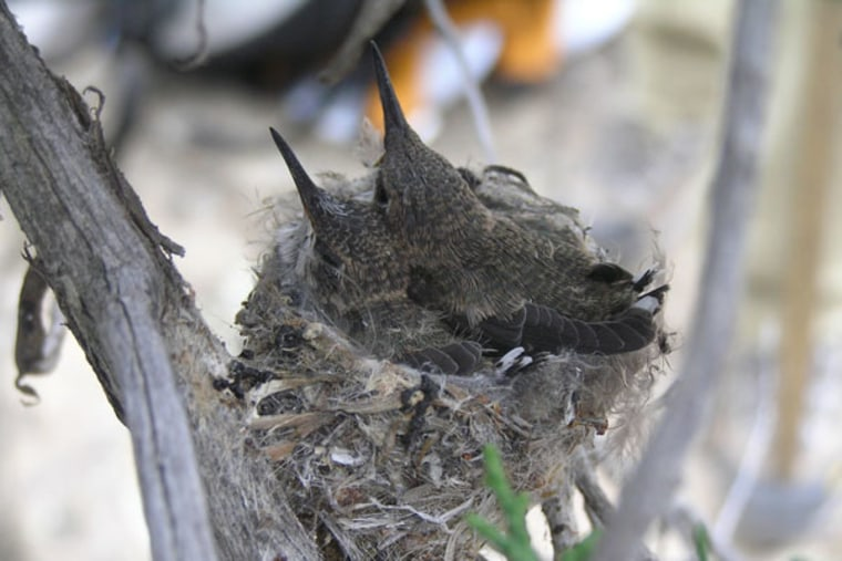 Black-chinned hummingbirds appear drawn to noise, perhaps because their predators, scrub jays, leave noisy sites.