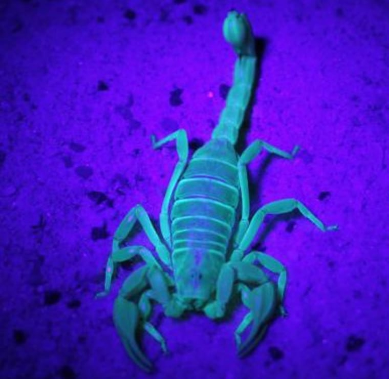 A compound in the exoskeletons of adult scorpions causes them to glow in UV light.