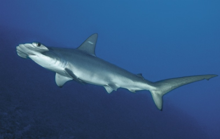 """It's very hard to tell the scalloped hammerhead shark, above, apart from the new """"cryptic""""species — only differences in their DNA and number of vertebrae reveal their true identities."""