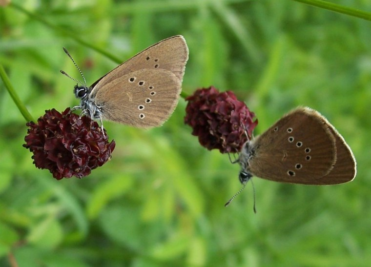 The threatened dusky blue butterfly, a species that lives part of its life with ants.