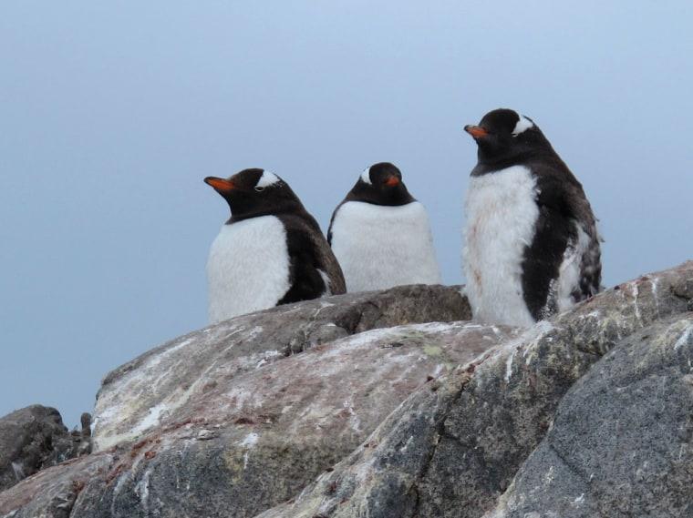 penguins on rocks