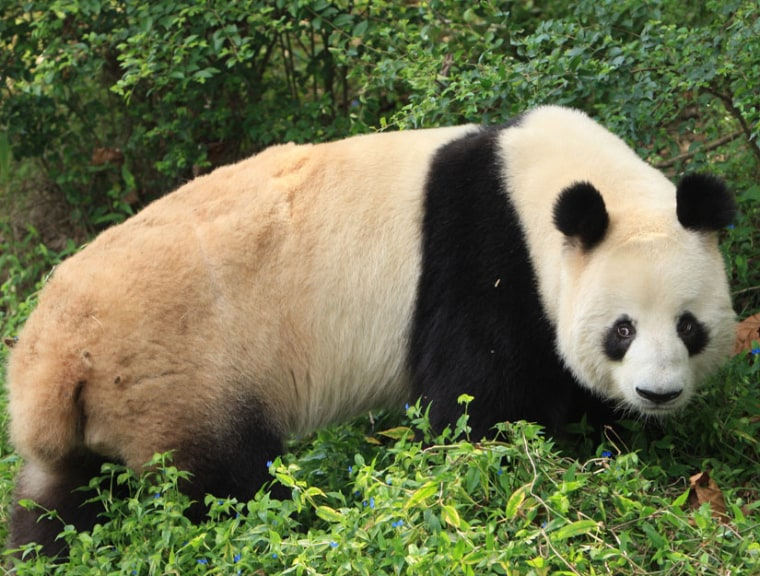 Kebi, one of the male giant pandas included in the 3-year study.