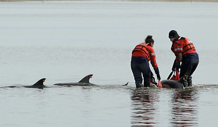 Using a sling, Linda D'eri, left, and Misty Niemeyer, members of an International Fund for Animal Welfare rescue team, carry one of 11 dolphins stranded ion a mud flat during low tide in Wellfleet, Mass.,on Feb. 14. Ten of the dolphins were saved and one died. There have been 177 dolphins stranded in the area since Jan. 12.