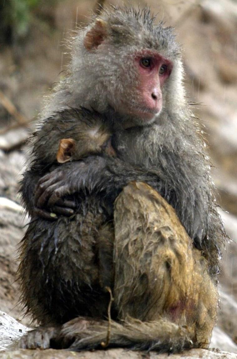 Image: Rhesus monkeys