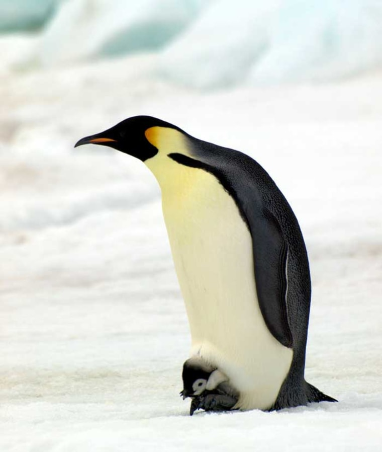 An emperor penguin sits on a tiny chick, keeping the little one warm.