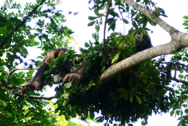 A chimpanzee kicks backin his nest high in the forest canopy.