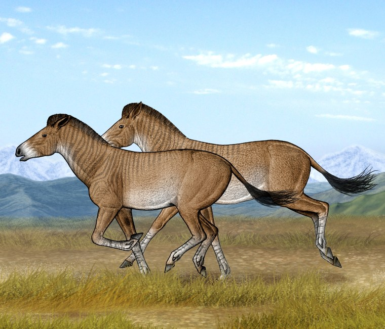 Two Zanda horses are running fast in their open steppe habitat of the Tibetan Plateau.
