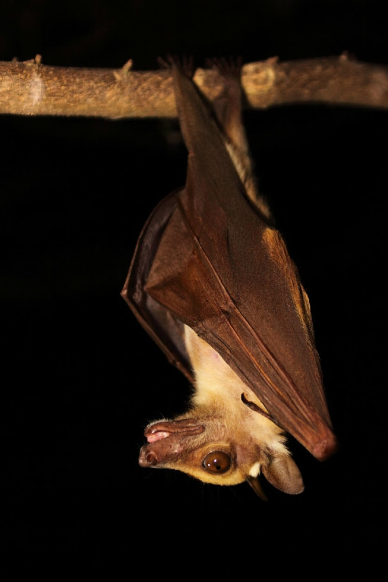 A fruit bat in Ghana. Scientists found the human mumps virus in the African fruit bat.