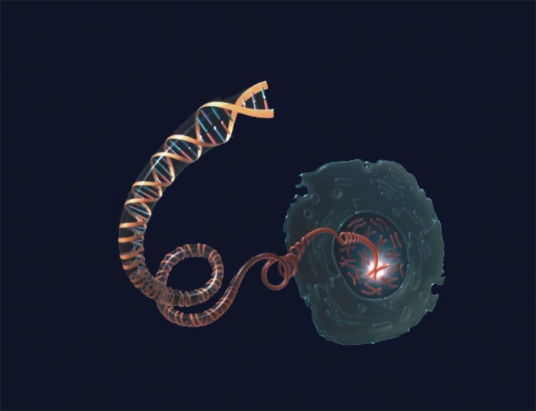 An error that created a duplicate gene long ago may be responsible for critical features of the human brain, according to a new study. (Shown here, a DNA molecule unwinding from a chromosome inside the nucleus of a cell.)