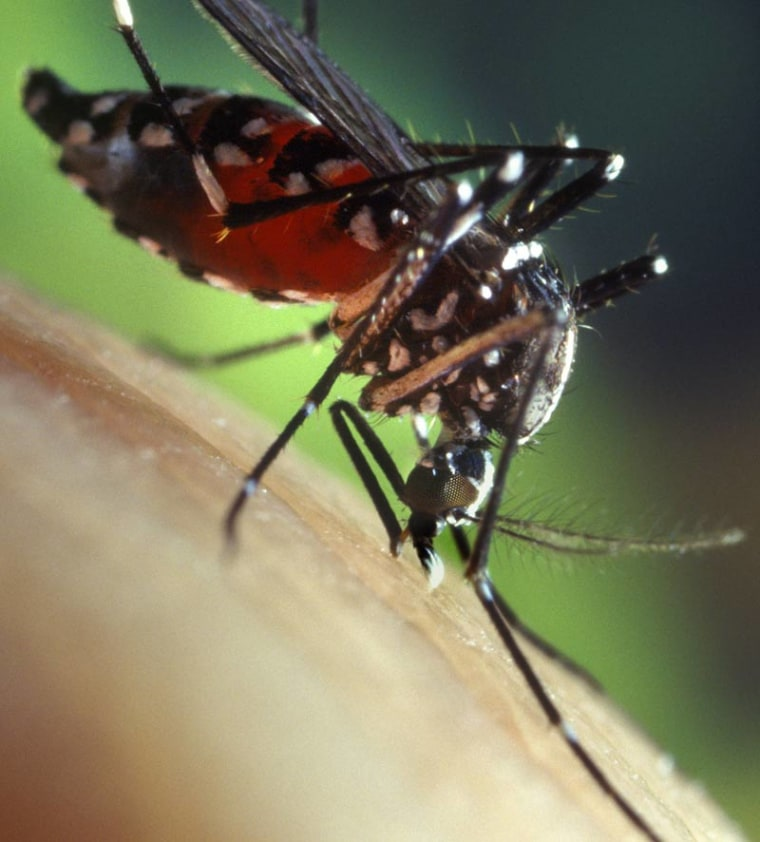 TheAsian tiger mosquito is one of two mosquito species that can carry the chikungunya disease.