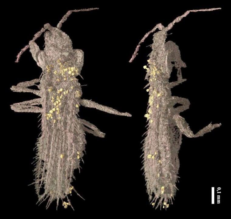 Image: X-Ray image of the specimen of Gymnospollisthrips minor