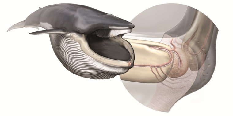 Rorqual whales, which include blue, fin and minke whales, have a special sensory organ in their jaws that helps them regulate their unique baleen feeding methods.