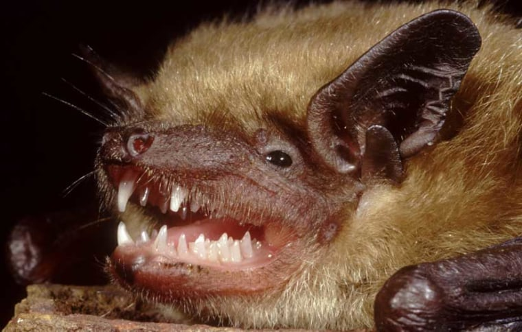 The little brown bat, shown here, is among the many bat species being ravaged by a fungal disease.