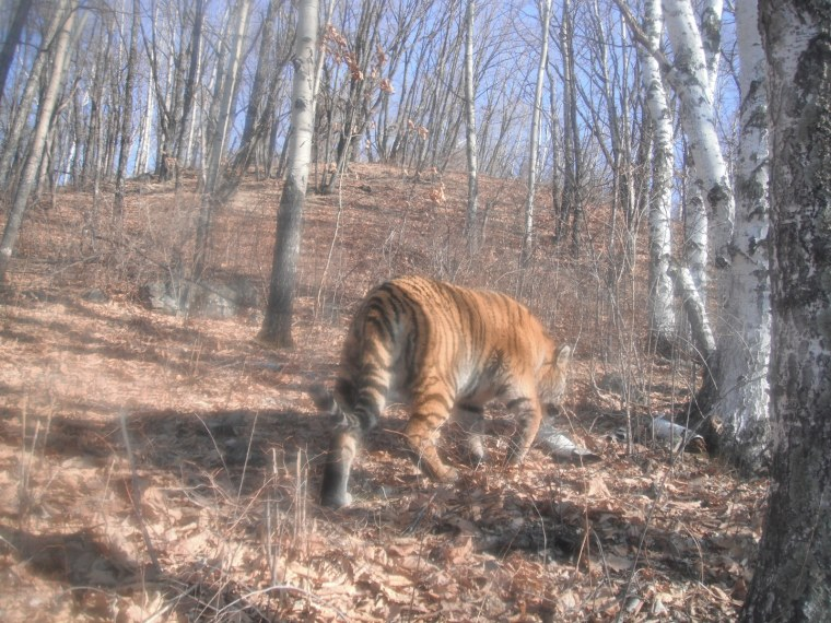 This endangered Amur tiger, also known as a Siberian tiger, was photographed by a camera trap in a nature reserve in northeast China.