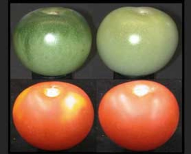 Unripe and ripe normal and uniform mutant tomato fruit. Note the lack of full red ripe fruit coloration of the normal fruit at left.