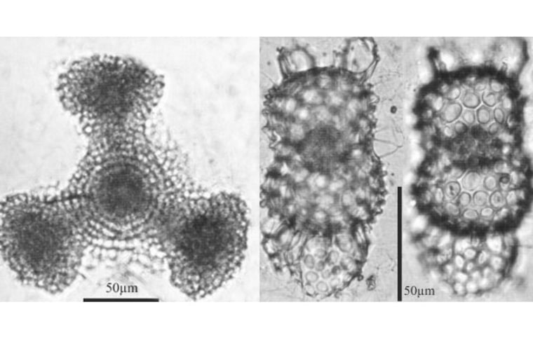 Plankton from equatorial waters found in the Arctic Ocean in 2010, from left to right: Dictyocoryne truncatum and Didymocyrtis tetrathalamus.