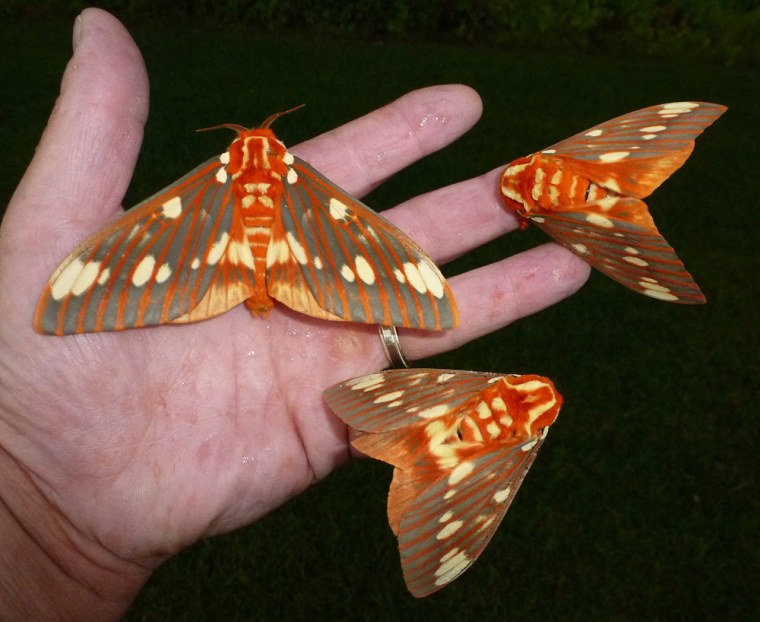 The Royal Walnut Moth can grow to a wingspan of 3 to more than 6 inches wide.
